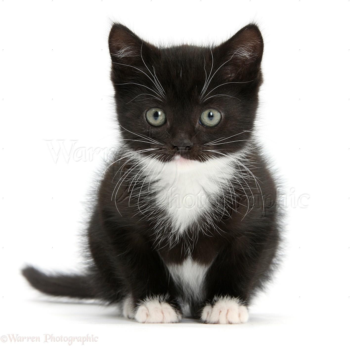 kitten sitting kittens cats photographic cat fluffy background
