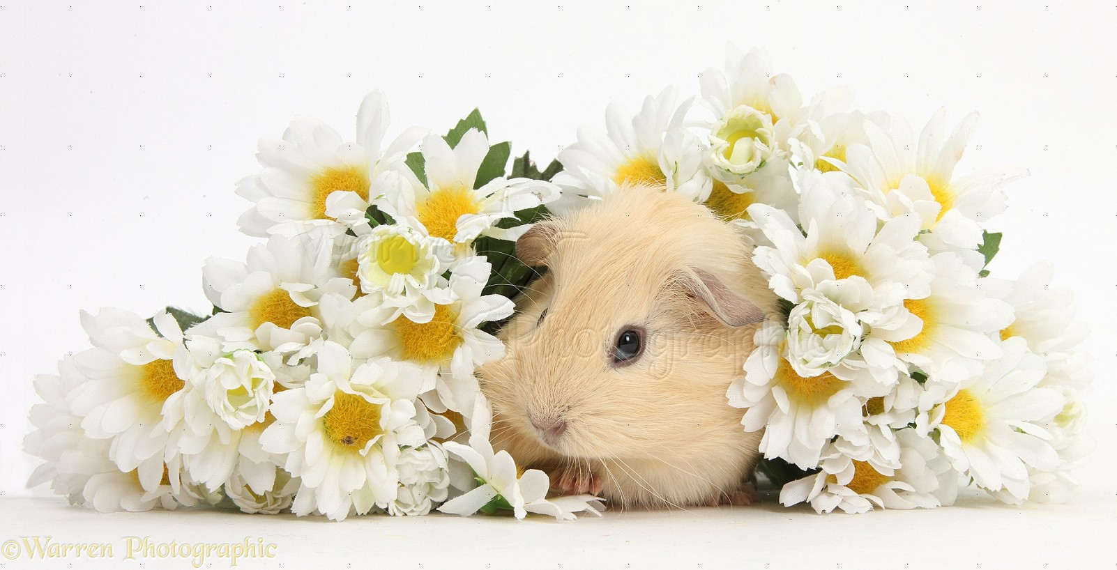 Cute baby Guinea pig hiding in a bunch of daisy flowers ...