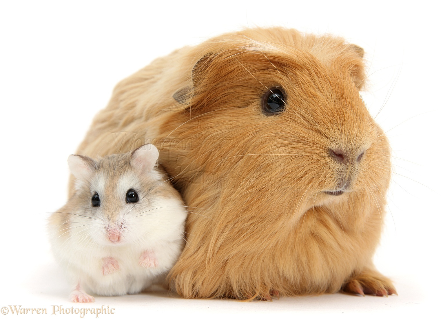 Uncategorized Hamsters And Guinea Pigs ginger guinea pig and roborovski hamster photo wp39166 hamster