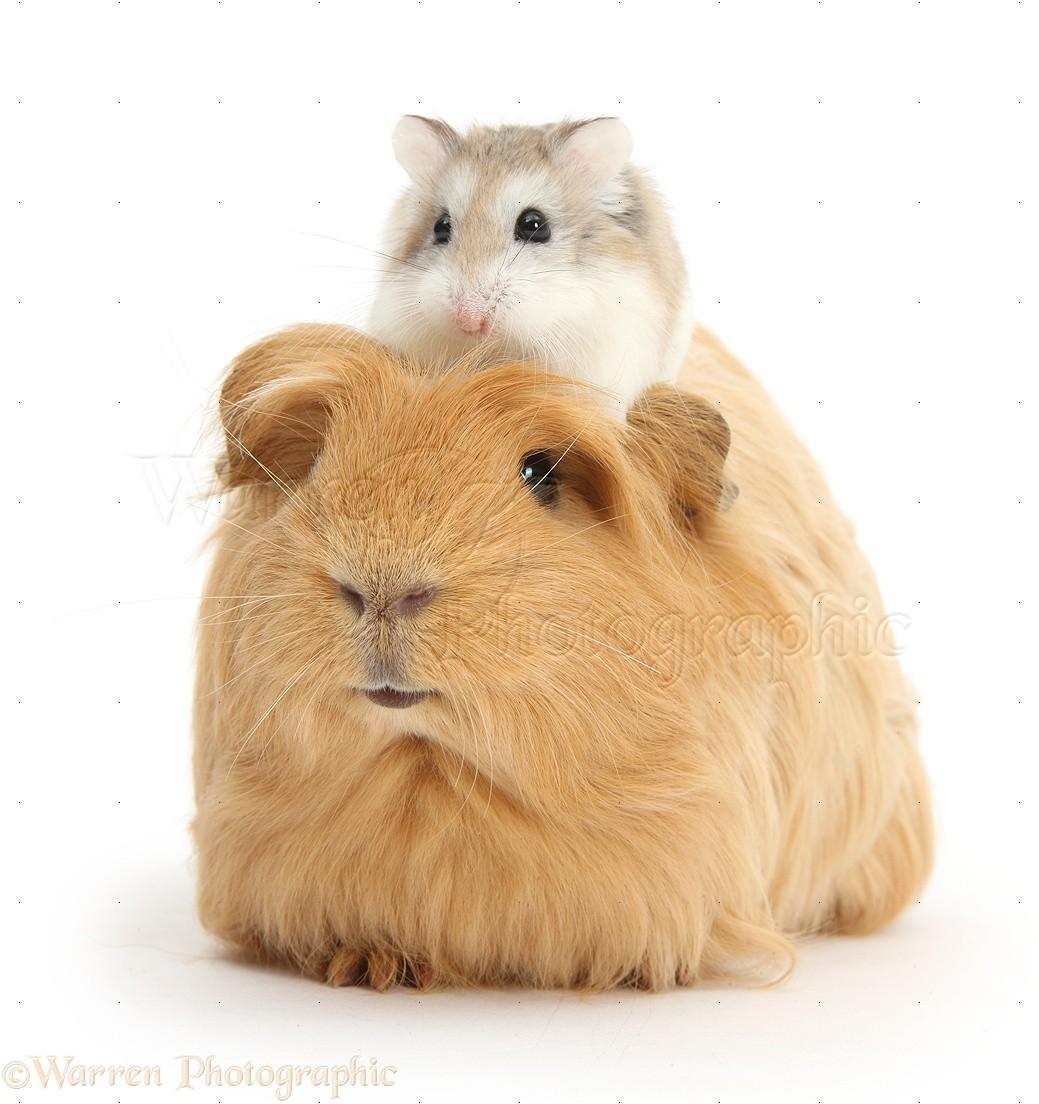 Uncategorized Hamster And Guinea Pig ginger guinea pig and roborovski hamster photo wp39171 puppy red pig
