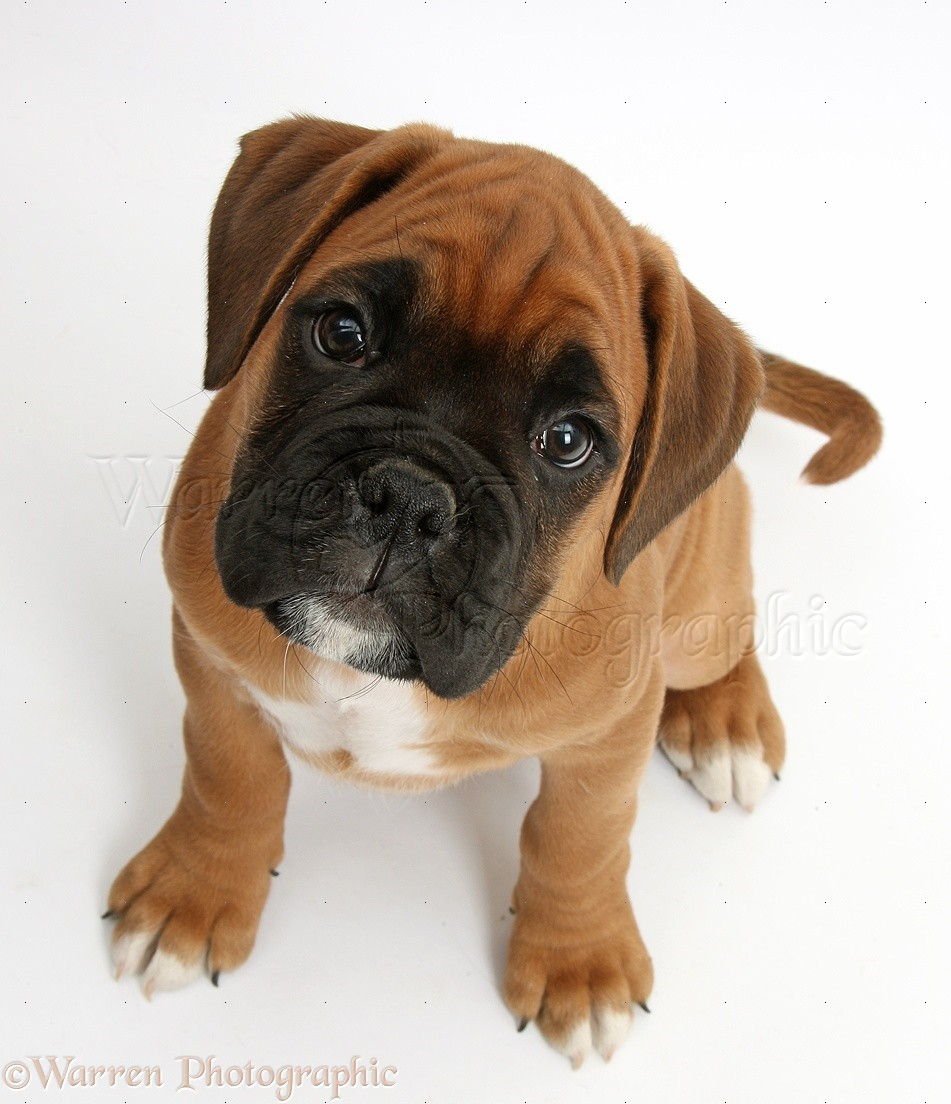 Brown boxer puppies galleryhip com the hippest galleries