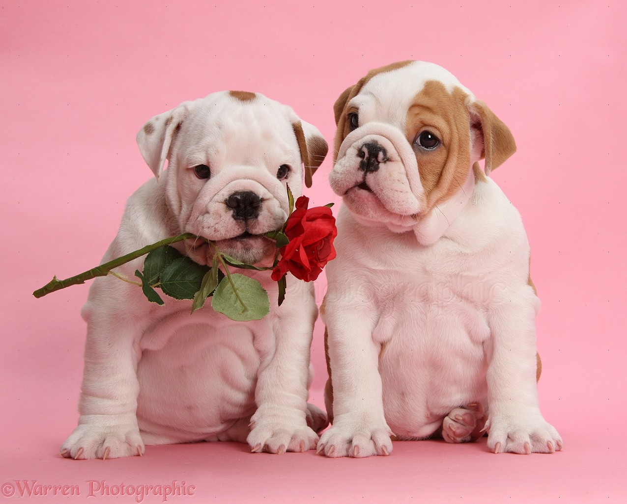 Bulldog puppies with red rose, on pink background photo ... Bulldog Puppies Wallpaper