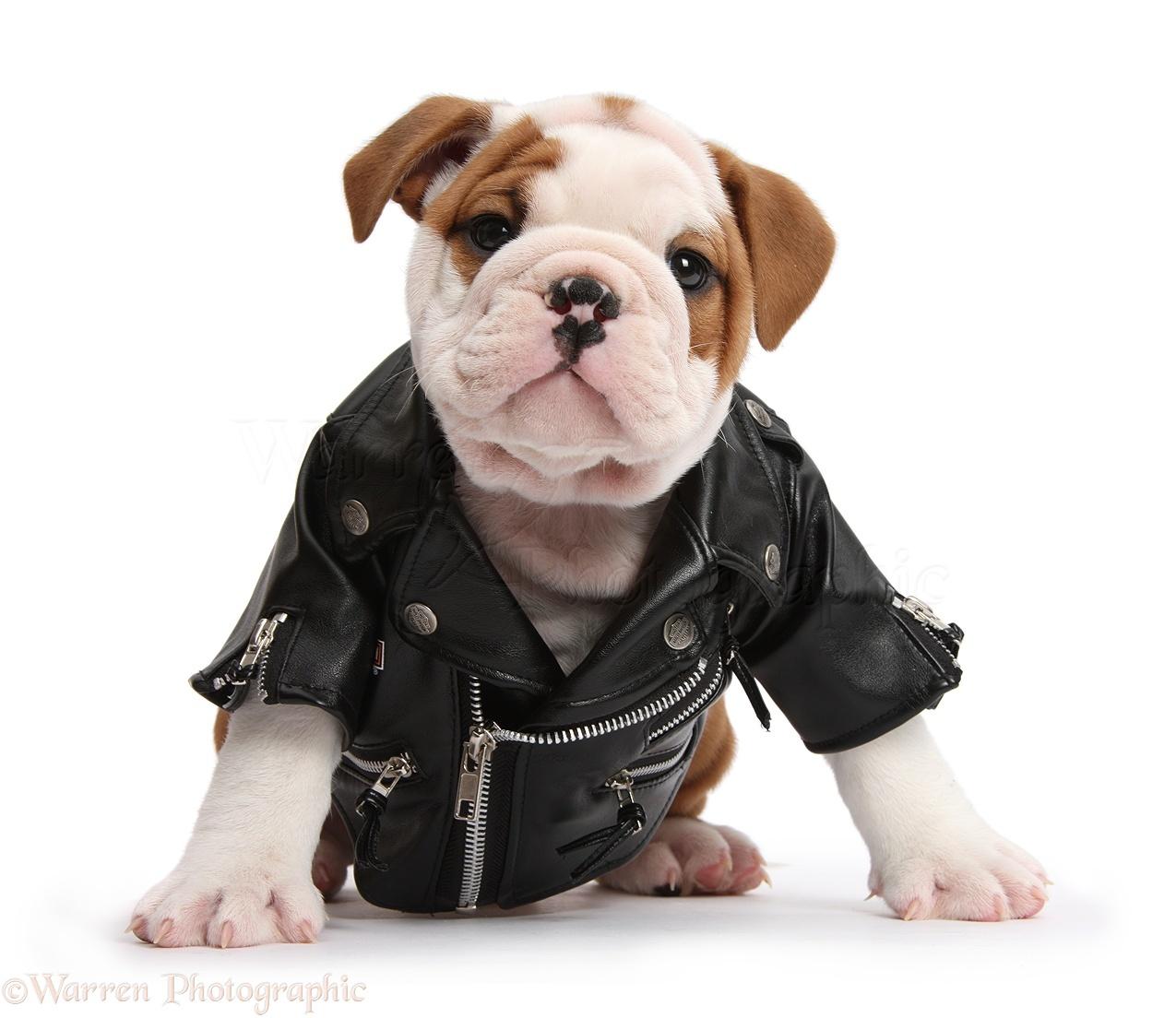 Cute Pets Pictures, Bulldog Puppy Wearing Biker Jacket