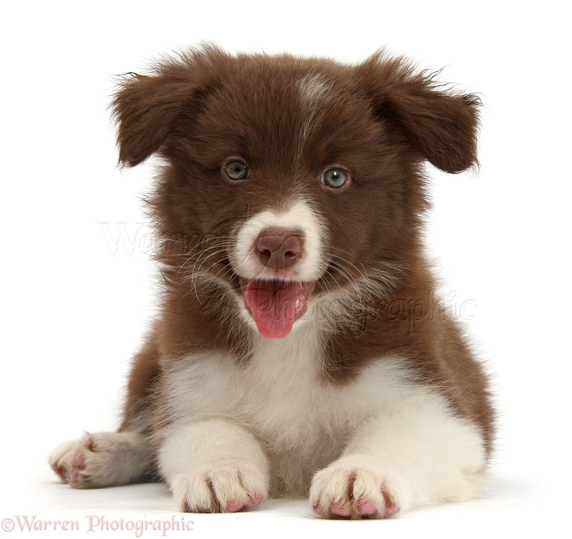 Pictures Of A Border Collie Dog And Puppy