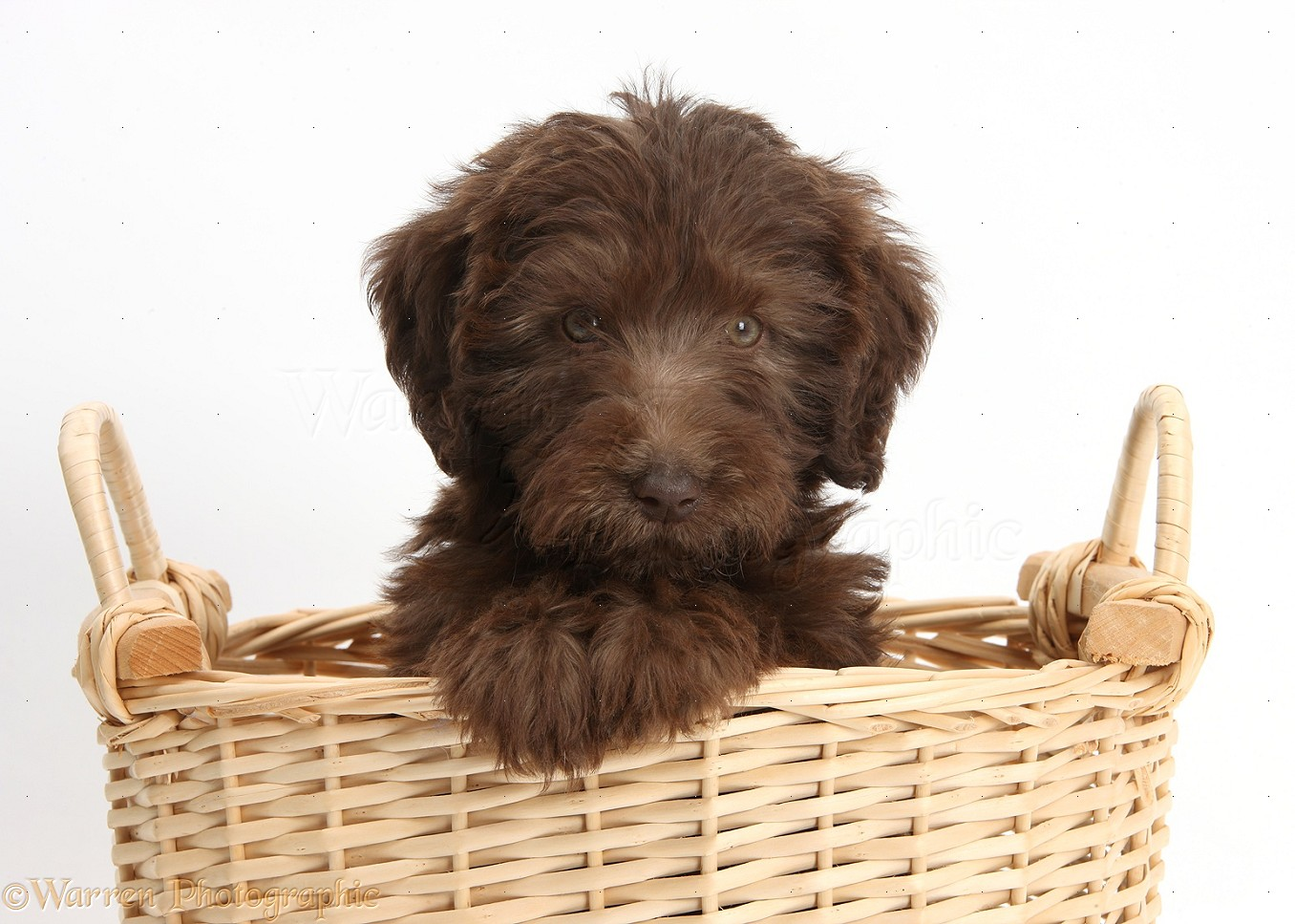 Dog Chocolate Labradoodle Puppy With Sunflower Photo Wp39271