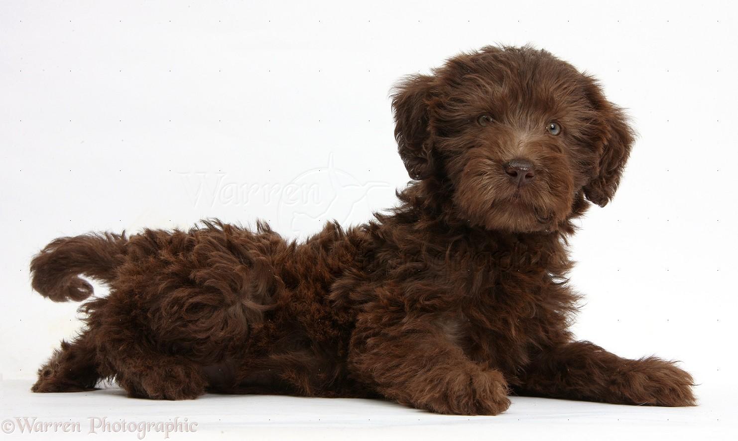 Dog: Chocolate Labradoodle puppy photo - WP39283