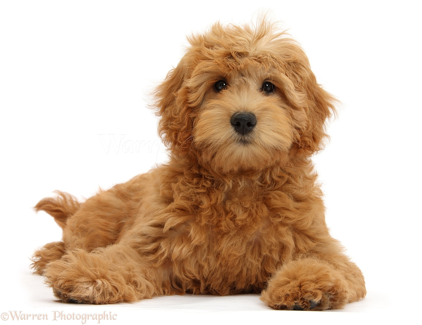 Dog Cute Goldendoodle Puppy Photo Wp39327
