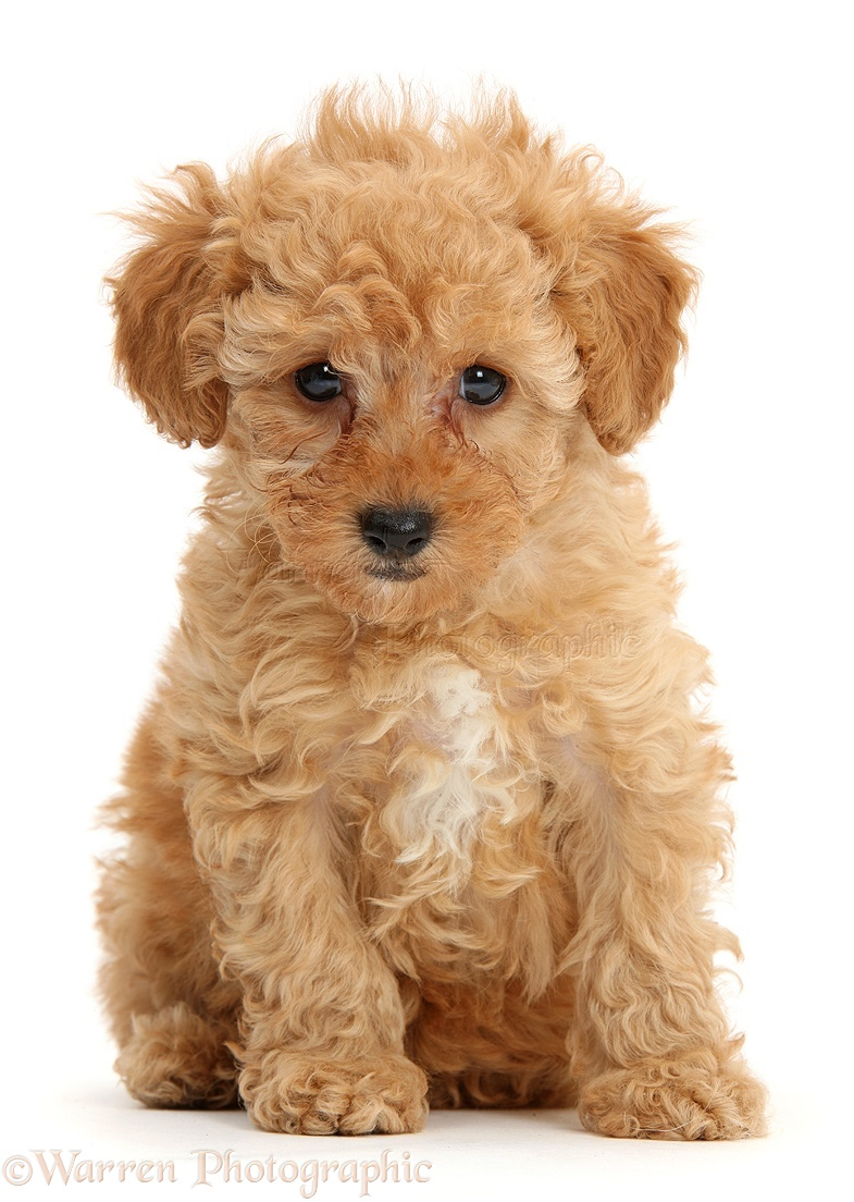 Red Toy Dogs : Dog cute red toy poodle puppy sitting photo wp