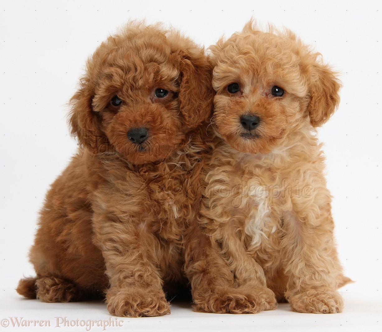 WP39329 Two cute red Toy Poodle puppies, 8 weeks old, sitting.