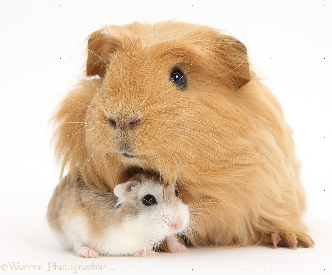 Uncategorized Hamsters And Guinea Pigs ginger guinea pig and roborovski hamster photo wp39332 puppy red pig
