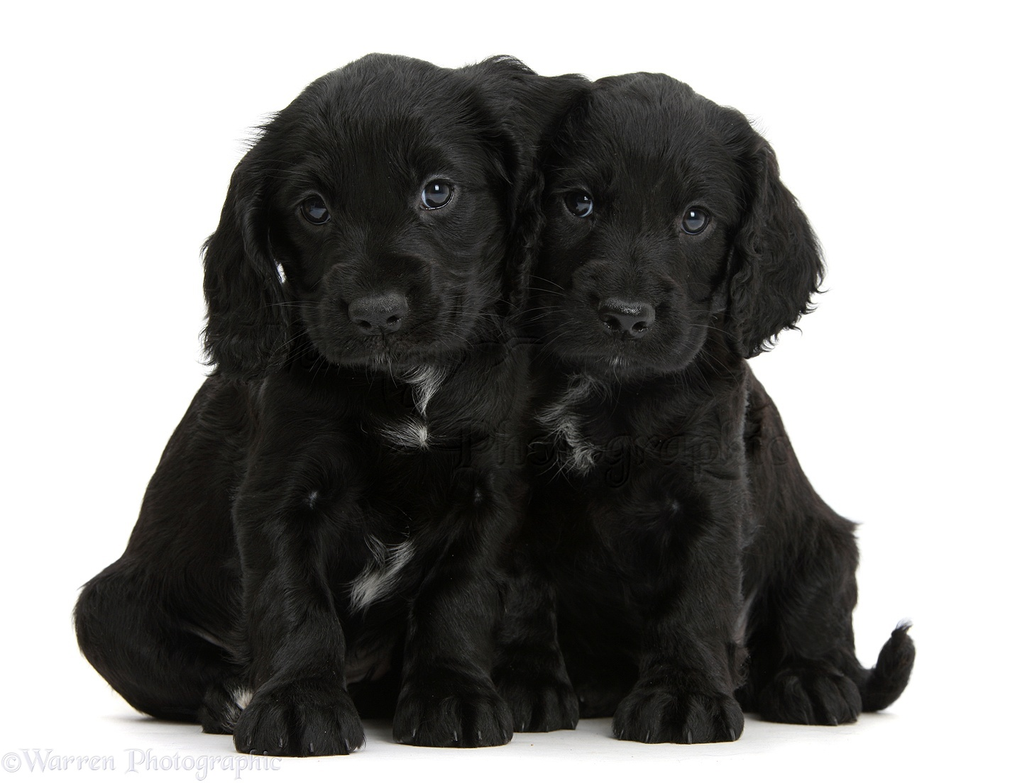 Dogs Black Cocker Spaniel Puppies Photo Wp39375