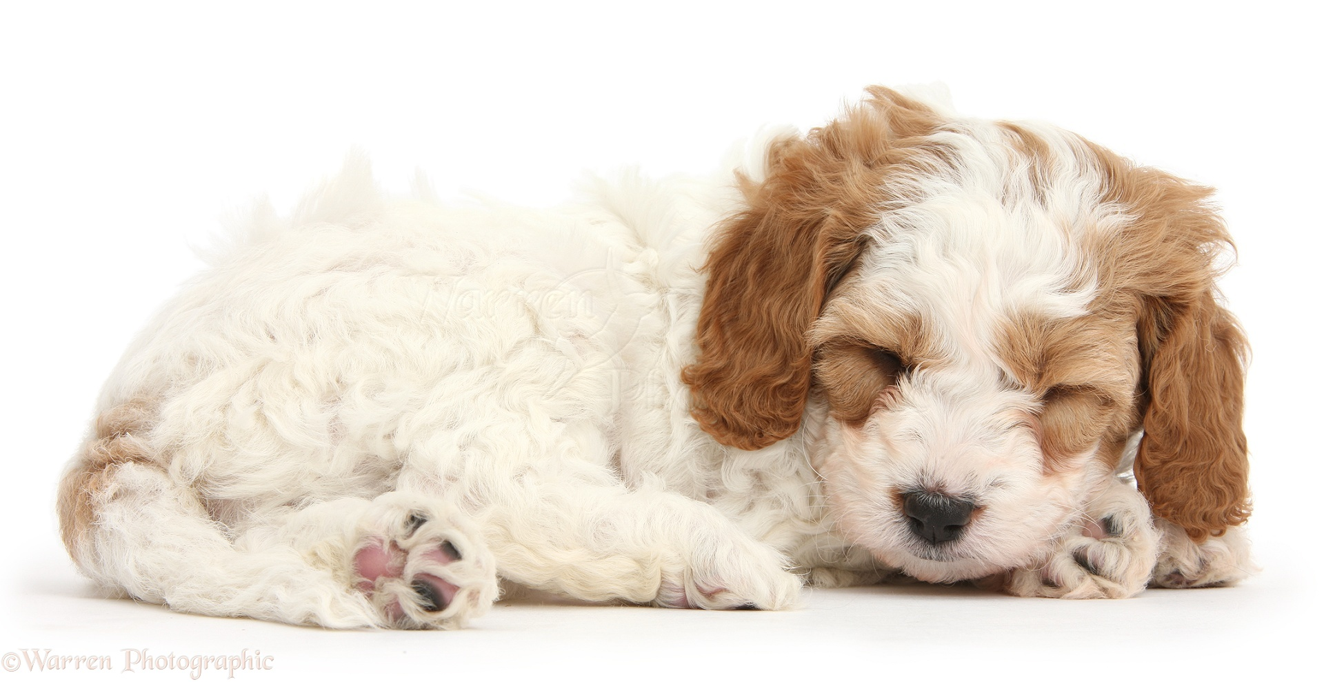 White Small Puppy Dog