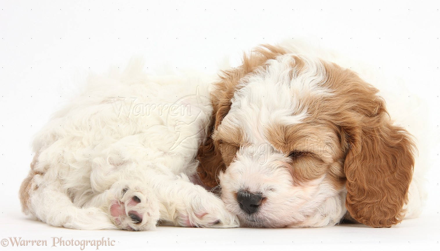 dog: cute sleeping cavapoo puppy photo wp39389