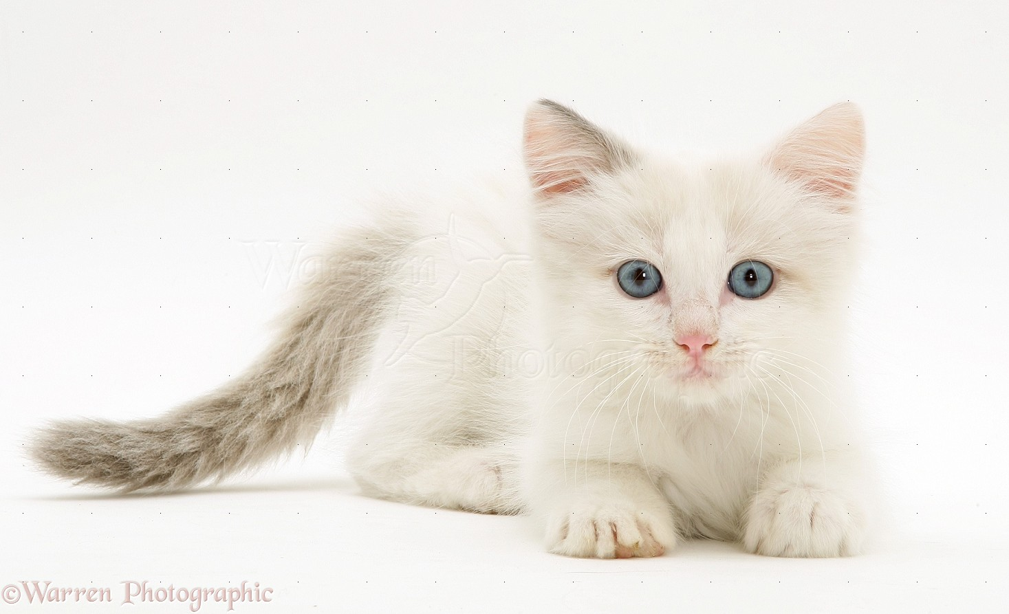 Katt Katt White Ragdoll Cat With Blue Eyes