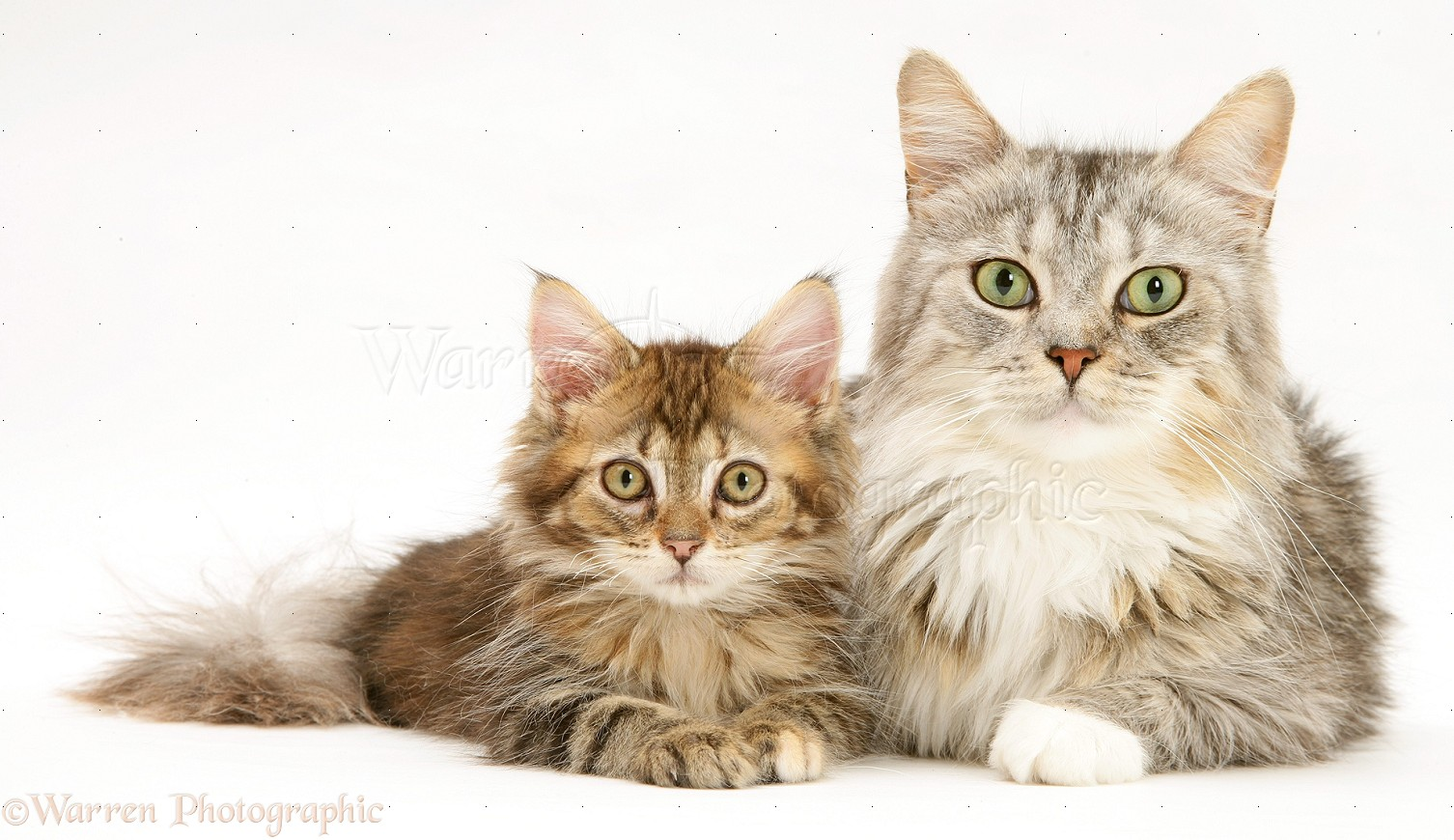Maine Coon mother cat and kitten photo WP