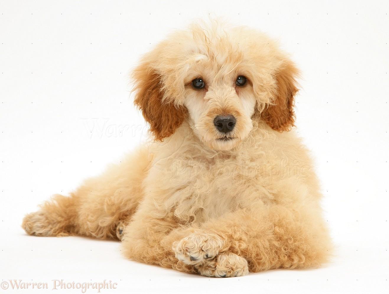 Dog Apricot Miniature Poodle Photo Wp39479