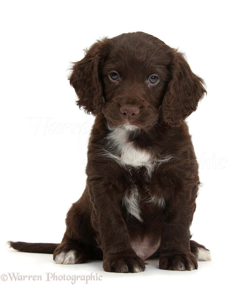 Cocker spaniel brown and white - photo#37