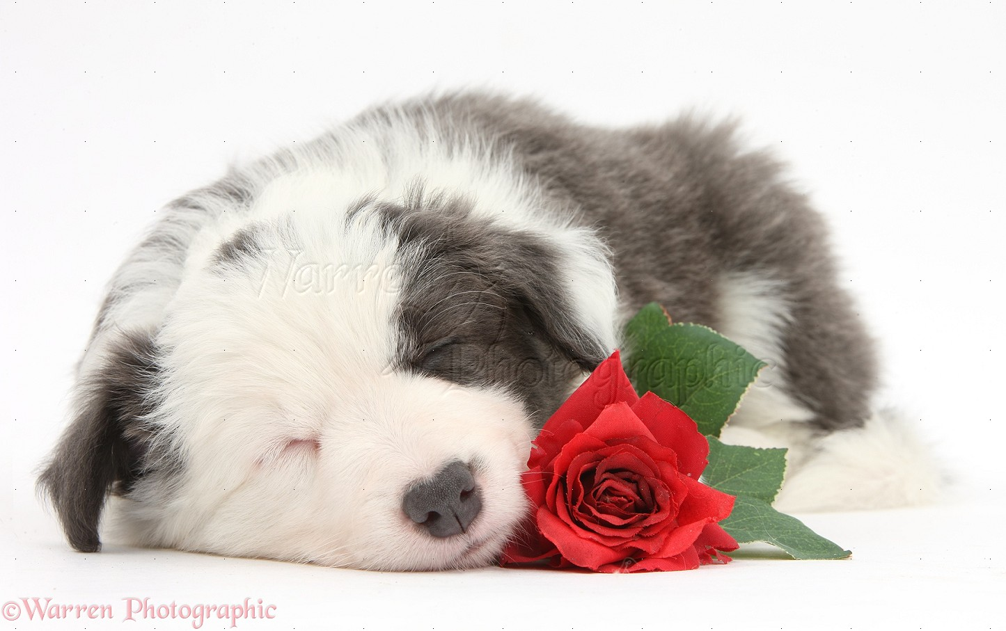 dog: cute sleepy border collie puppy with red rose photo wp39518
