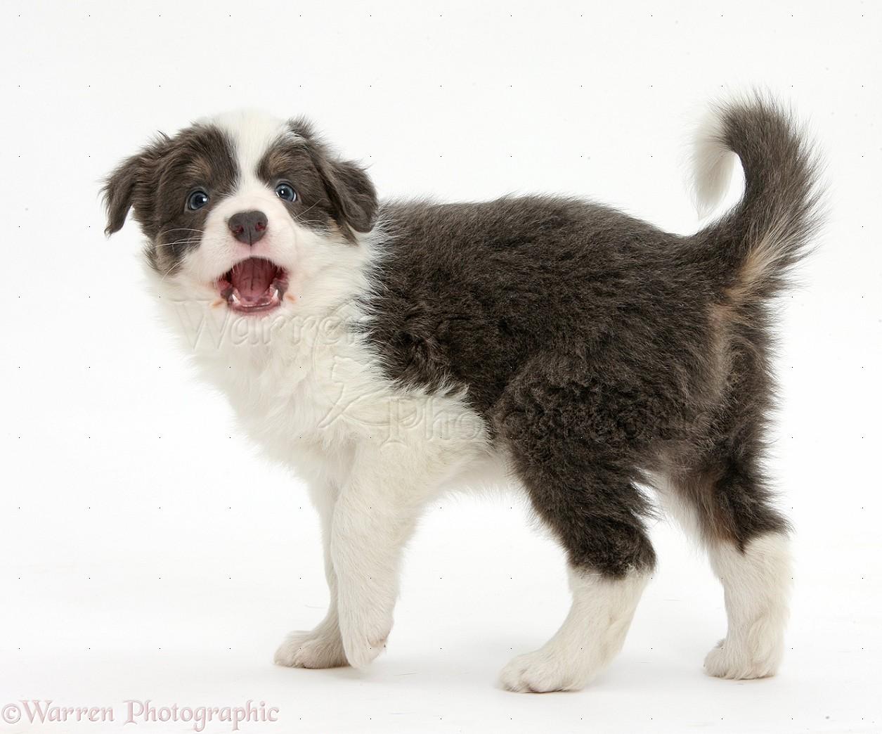 Dog blue and white border collie pup barking photo wp39519