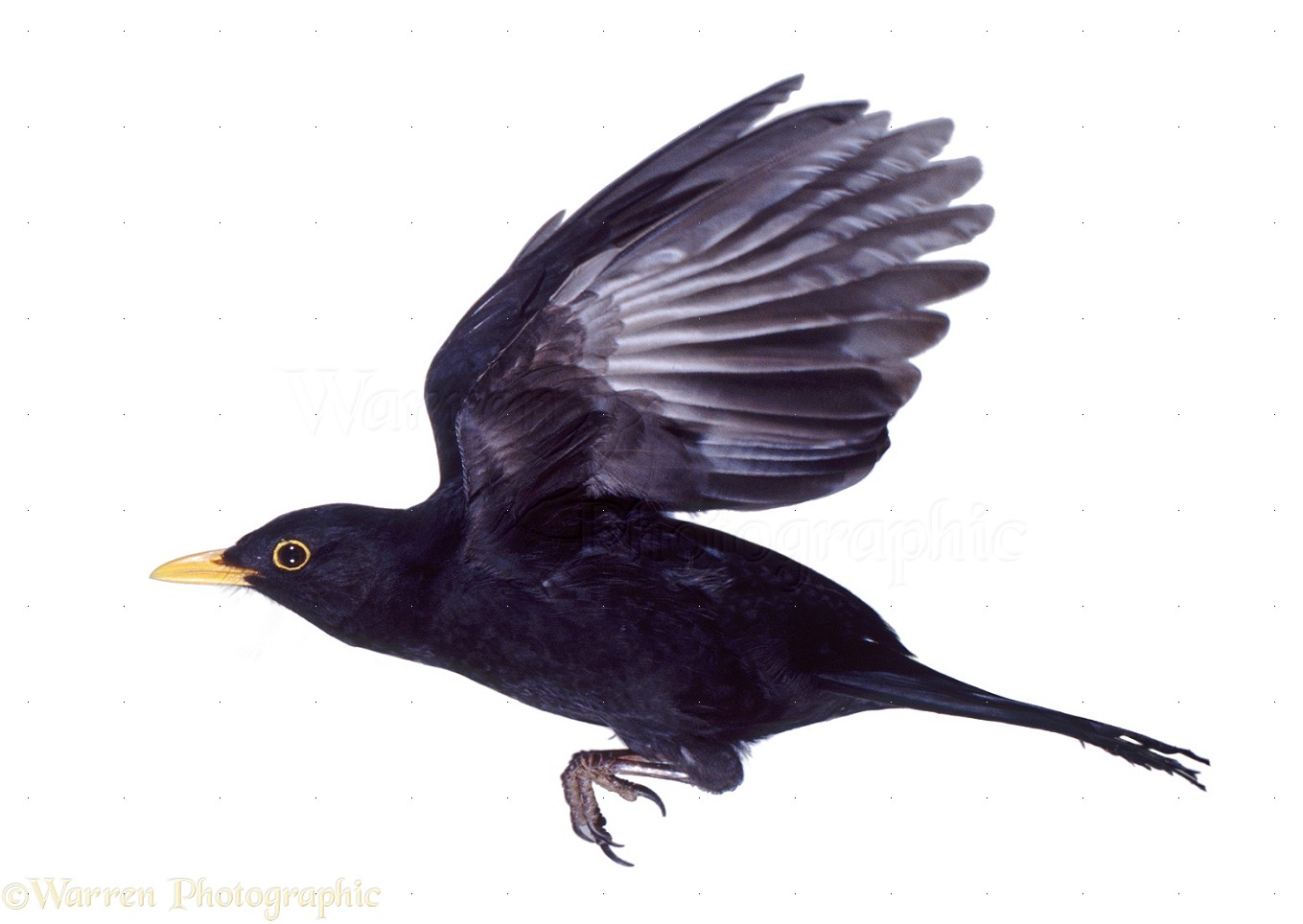 Black Bird Flying Male blackbird in flight