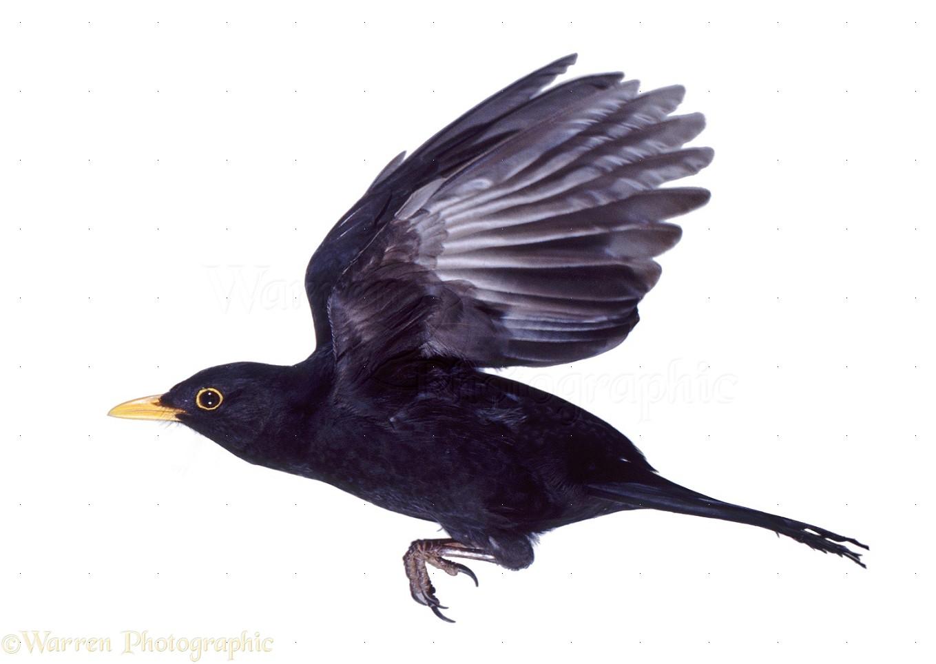 39550 Male blackbird in flight white background