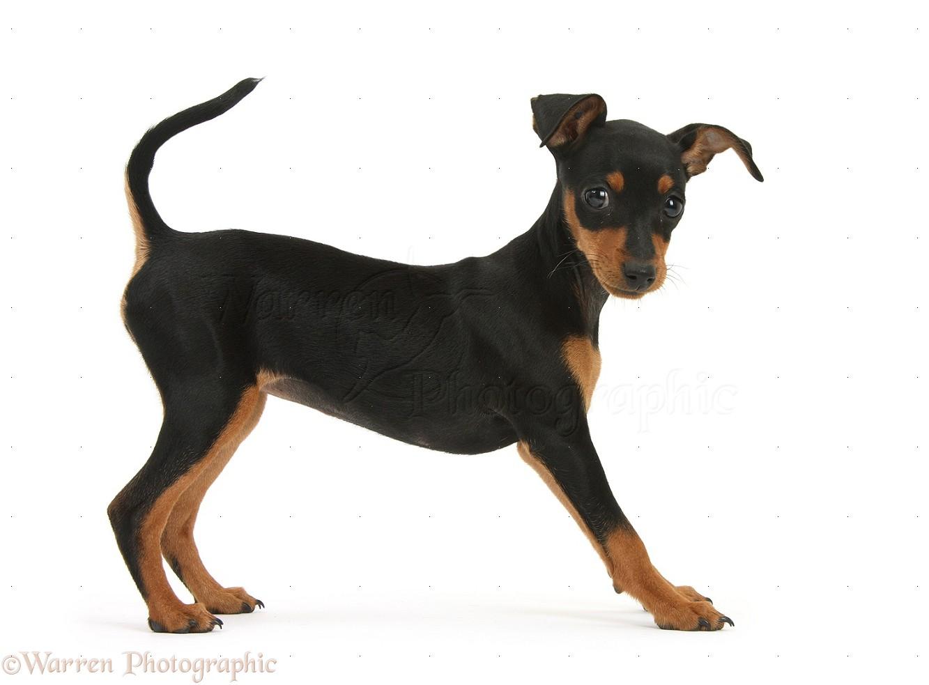 Miniature Pinscher puppy , Orla , standing .