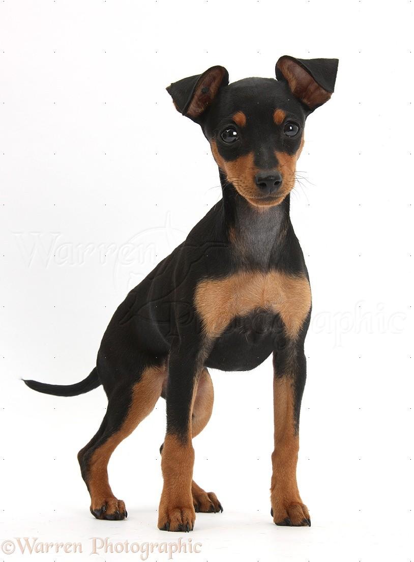 Dog Miniature Pinscher Puppy Photo Wp39564