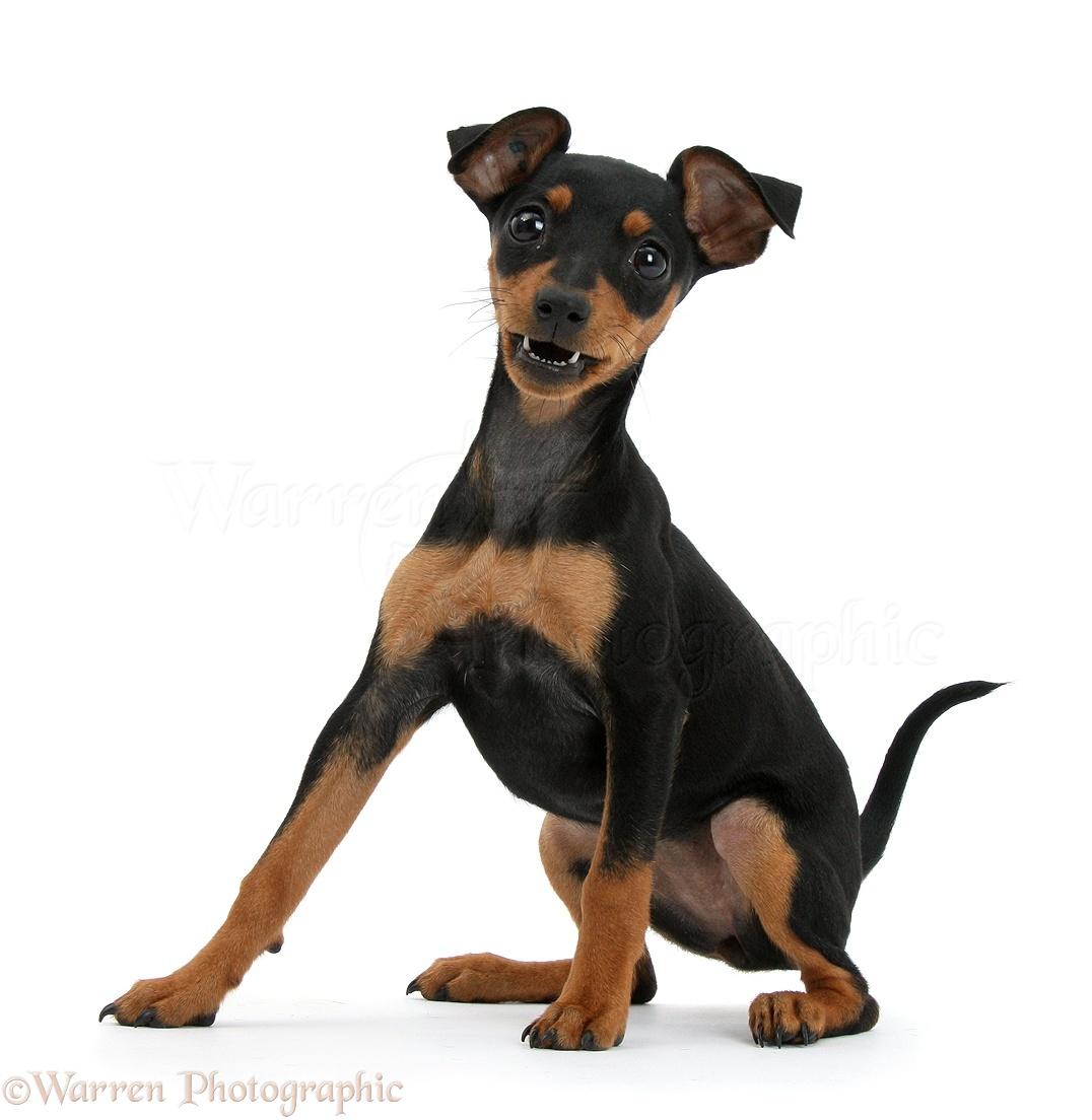 Pinscher Puppies