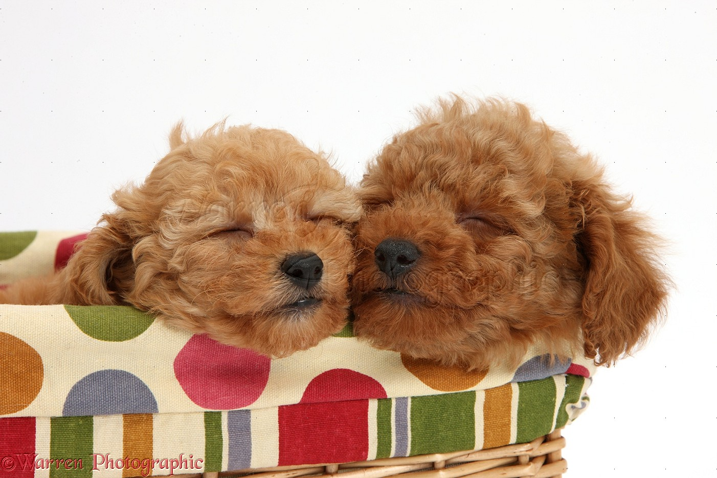 dogs: two cute sleepy red toy poodle puppies photo wp39636