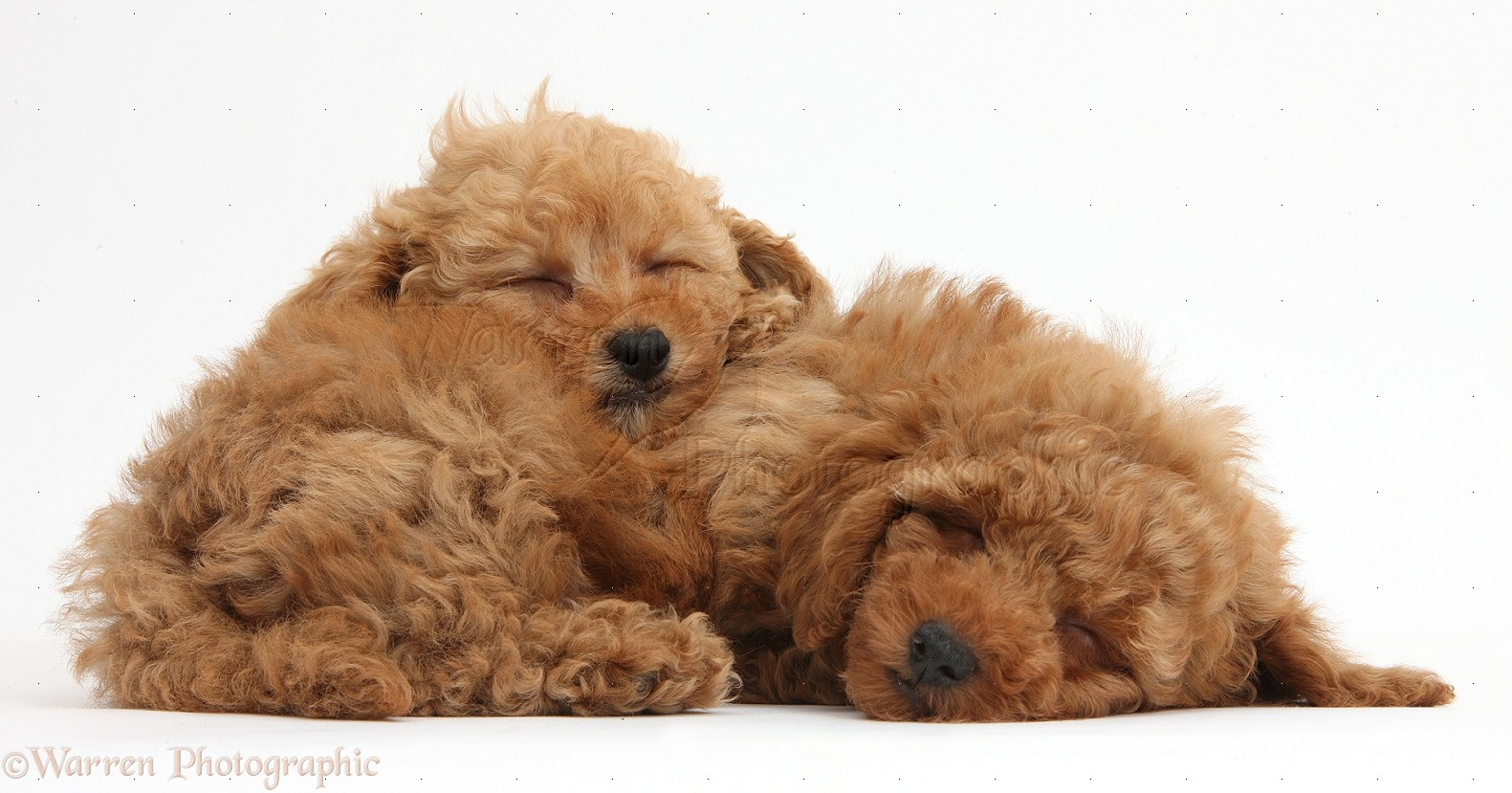 17423573 as well 38700 Cute Red Toy Poodle Puppy And Rabbit together with Havanese 70087 as well carlidavidson as well Sheepadoodle. on poodle puppies