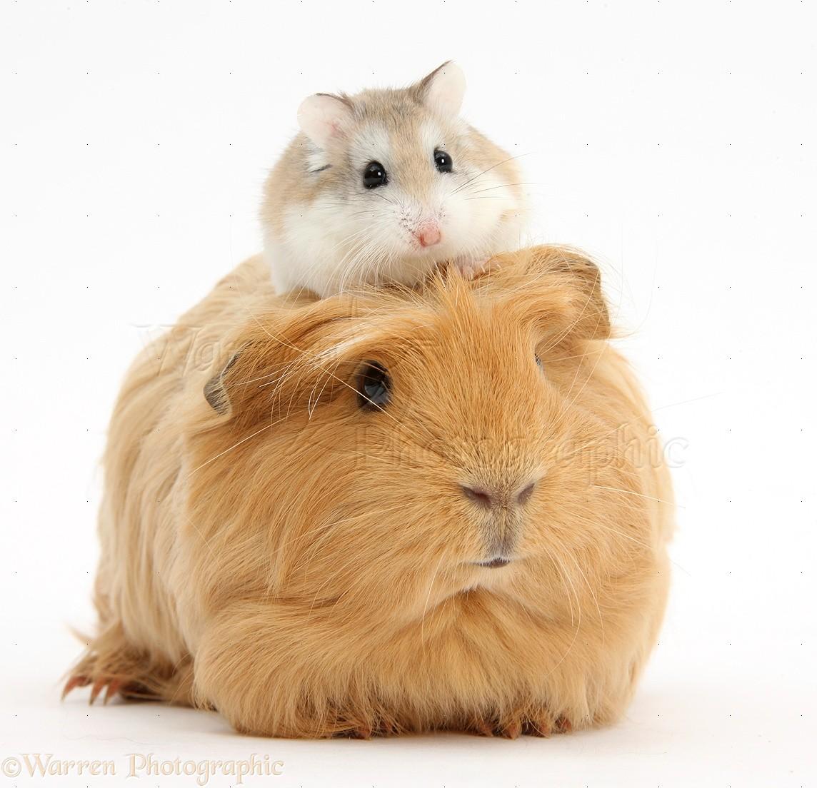 Uncategorized Hamster And Guinea Pig ginger guinea pig and roborovski hamster photo wp39652 puppy red pig