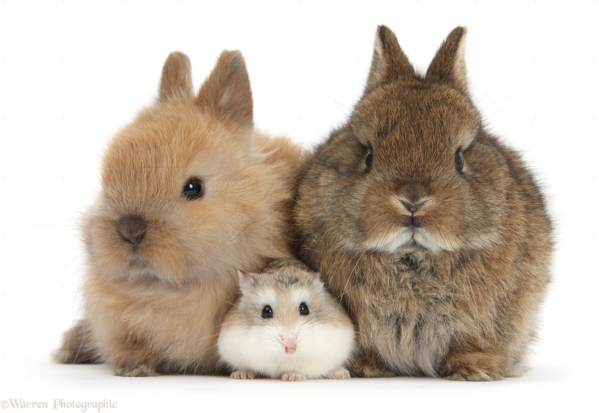 roborovski hamster with cute baby bunnies photo wp39698