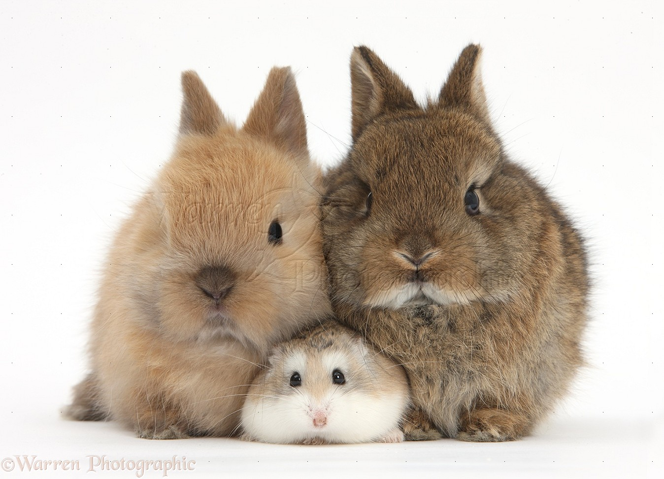 Roborovski Hamster with cute baby bunnies photo WP39699 - photo#39