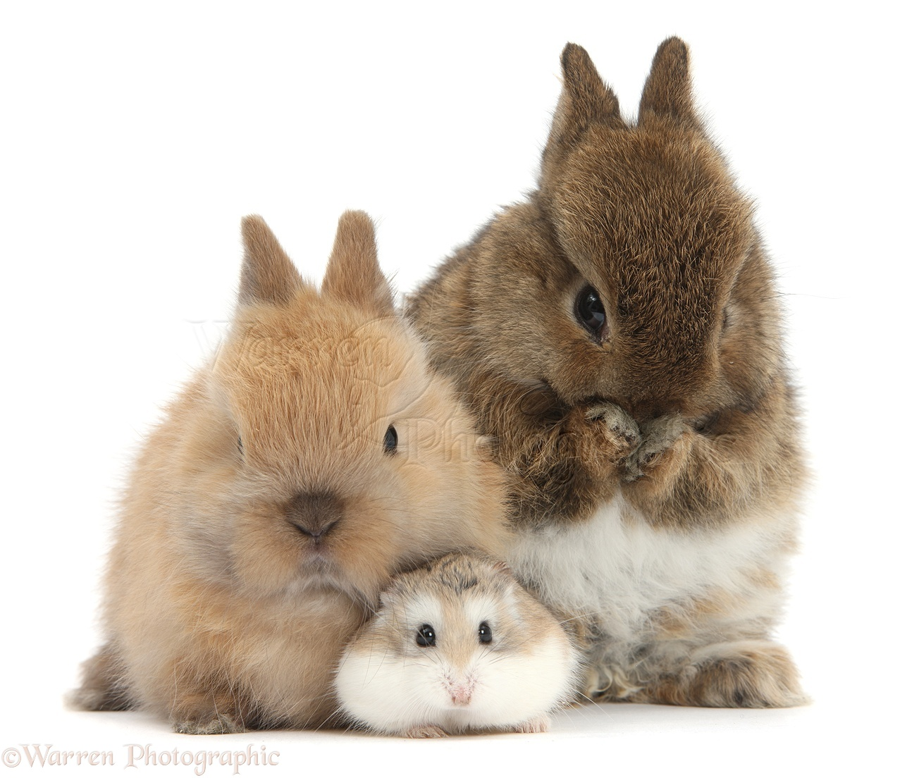 Roborovski Hamster with cute baby bunnies photo WP39700 - photo#16