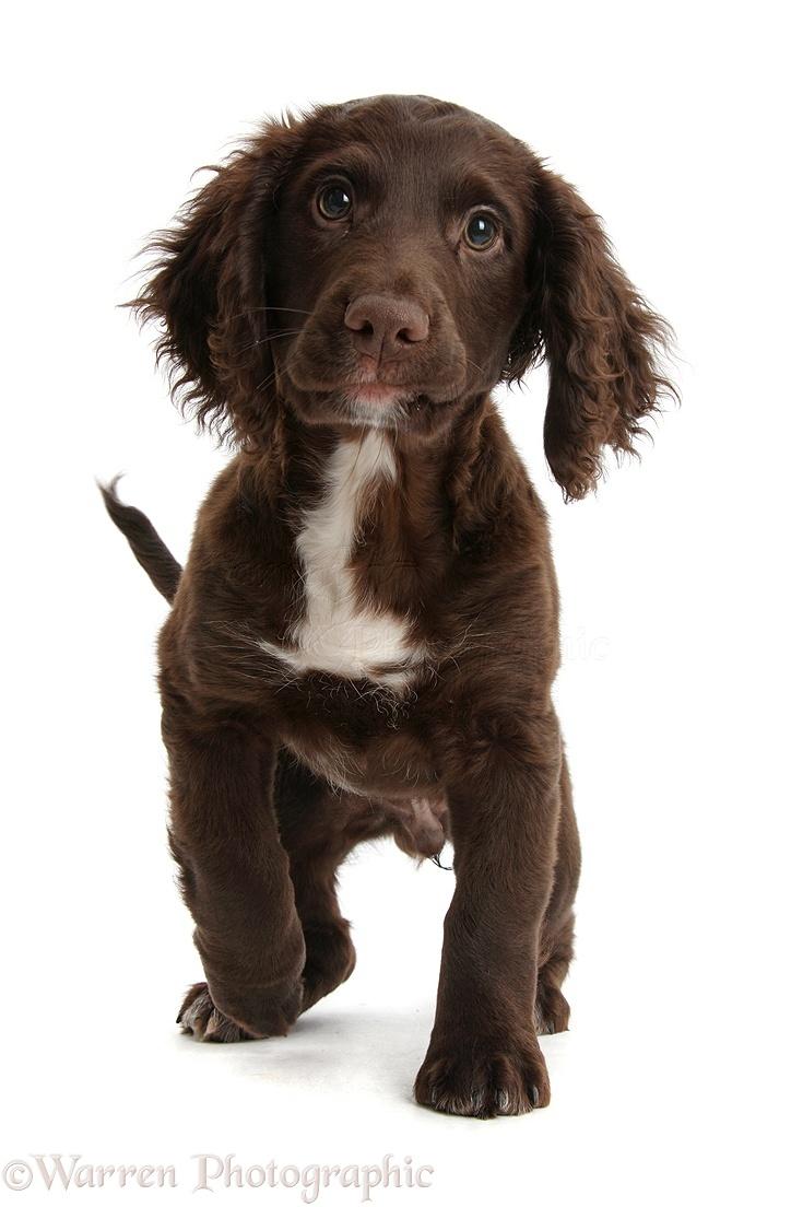 Dog Chocolate Cocker Spaniel Puppy Photo Wp39718