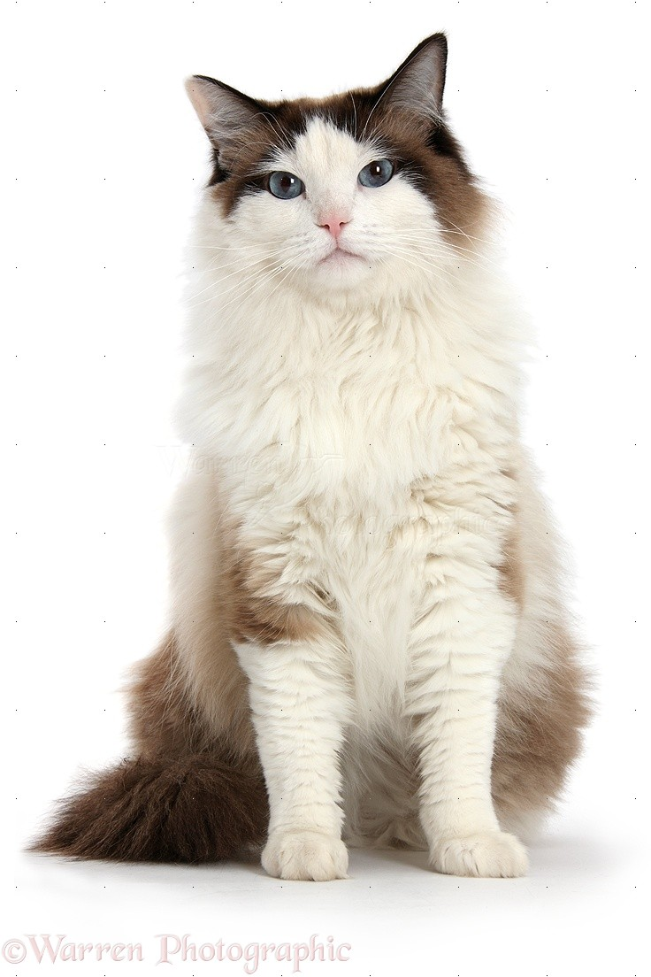 Ragdoll Cat Photo Wp39760