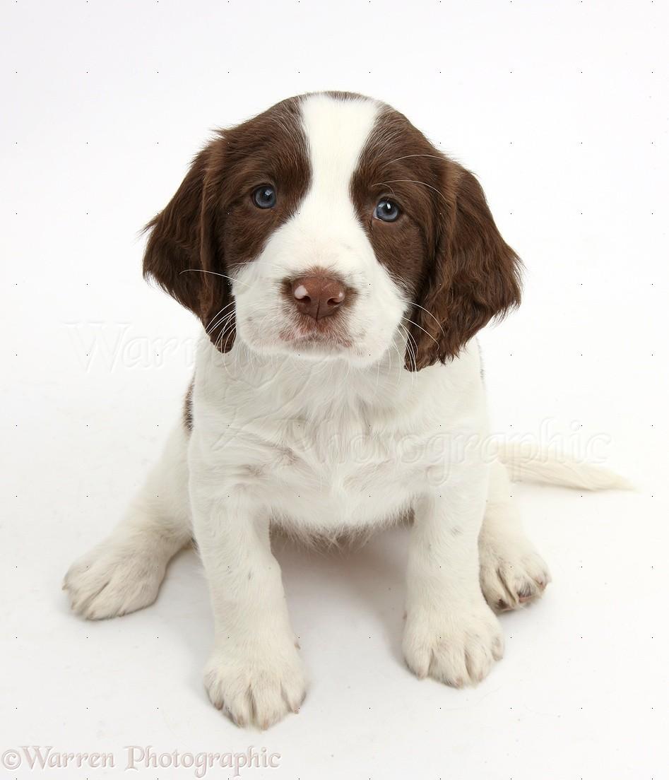 Dog Working English Springer Spaniel Puppy Photo Wp39802