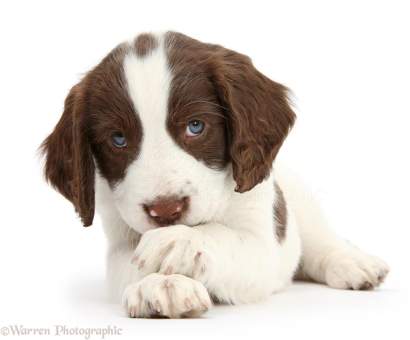 Dog Photographs English Springer Spaniel Puppy Photo Wp39807