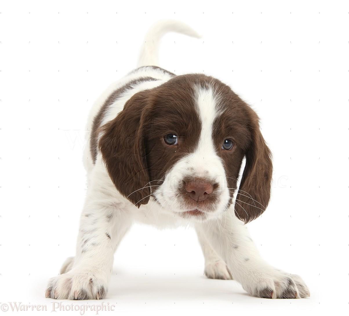 Dog: Working English Springer Spaniel puppy photo WP39810