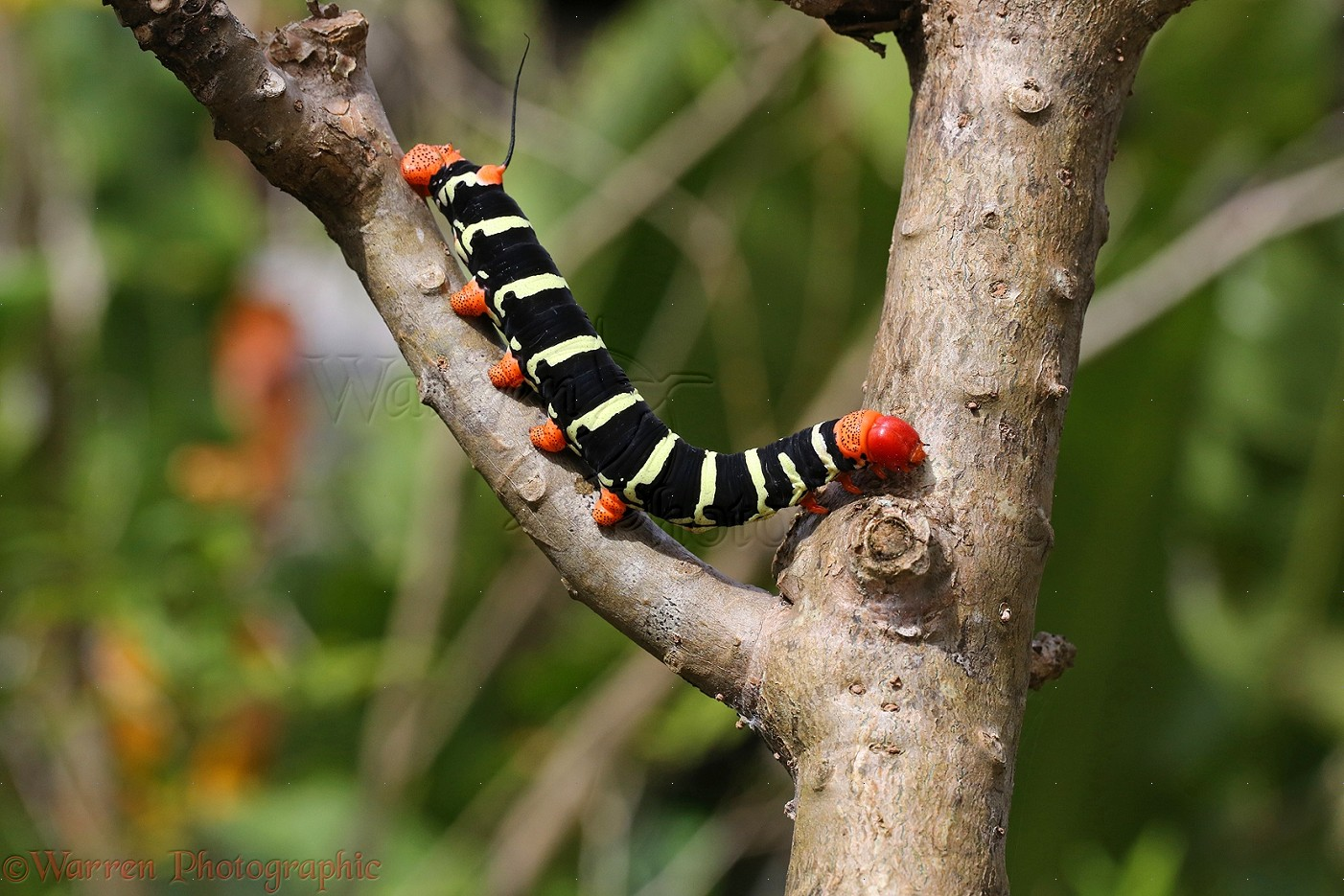 Gray Caterpillars That Are Big: Giant Grey Sphinx Moth Caterpillar Or Frangipani Worm