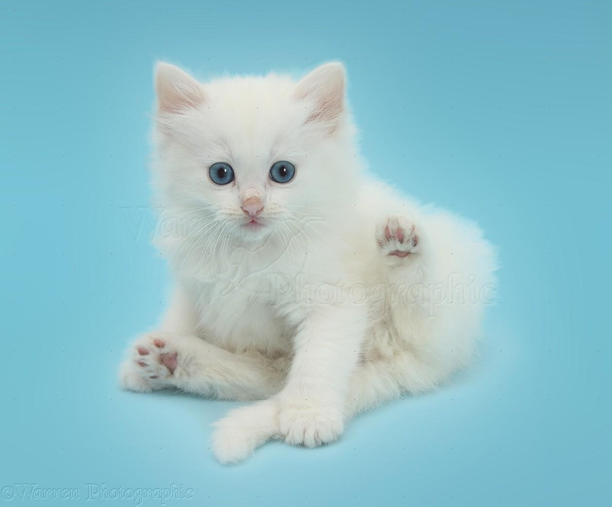 White Kitten Lounging On Blue Background Photo Wp39880