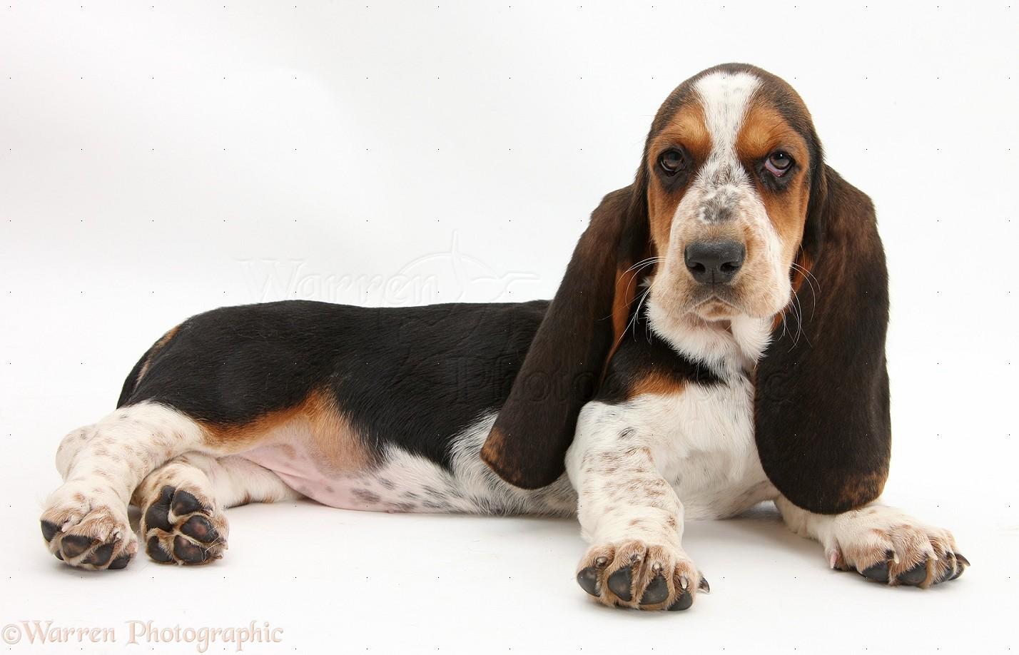 Dog Basset Hound Pup Photo WP39916