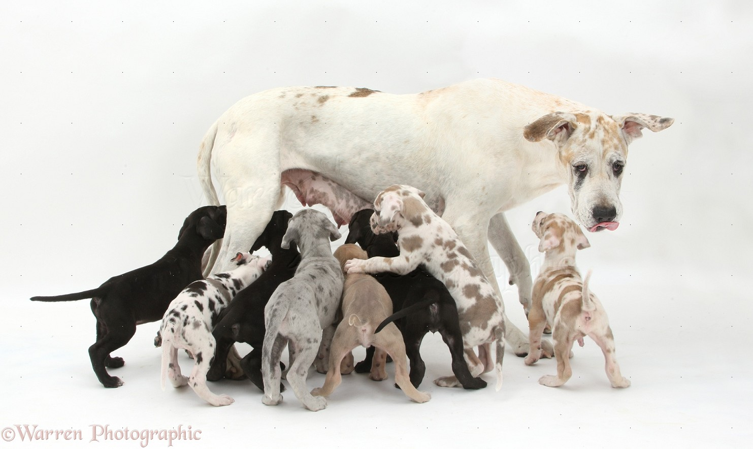 Dogs: Great Dane mother with suckling pups photo - WP39986