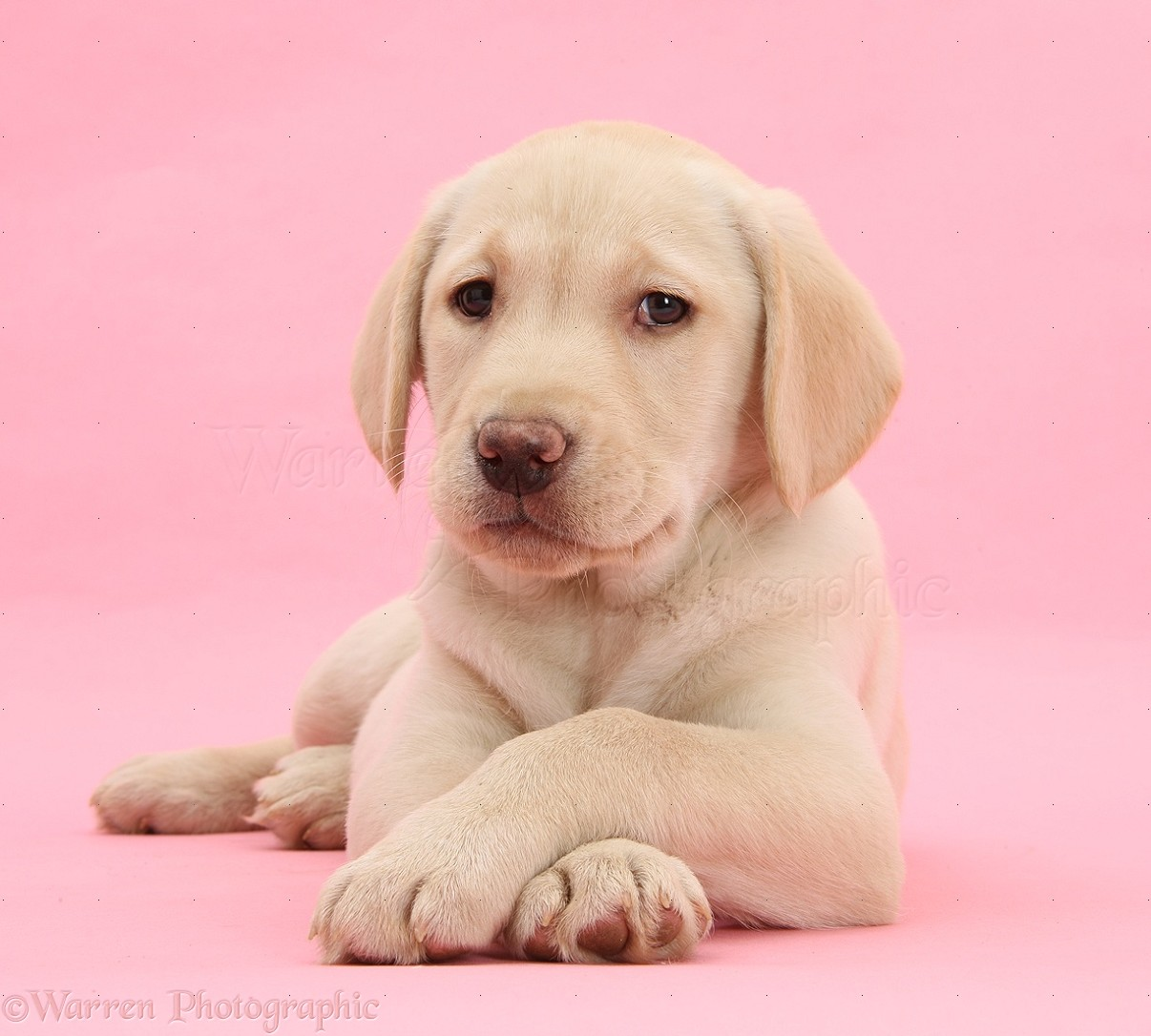 Dog Yellow Labrador Retriever Pup On Pink Background Photo Wp40038
