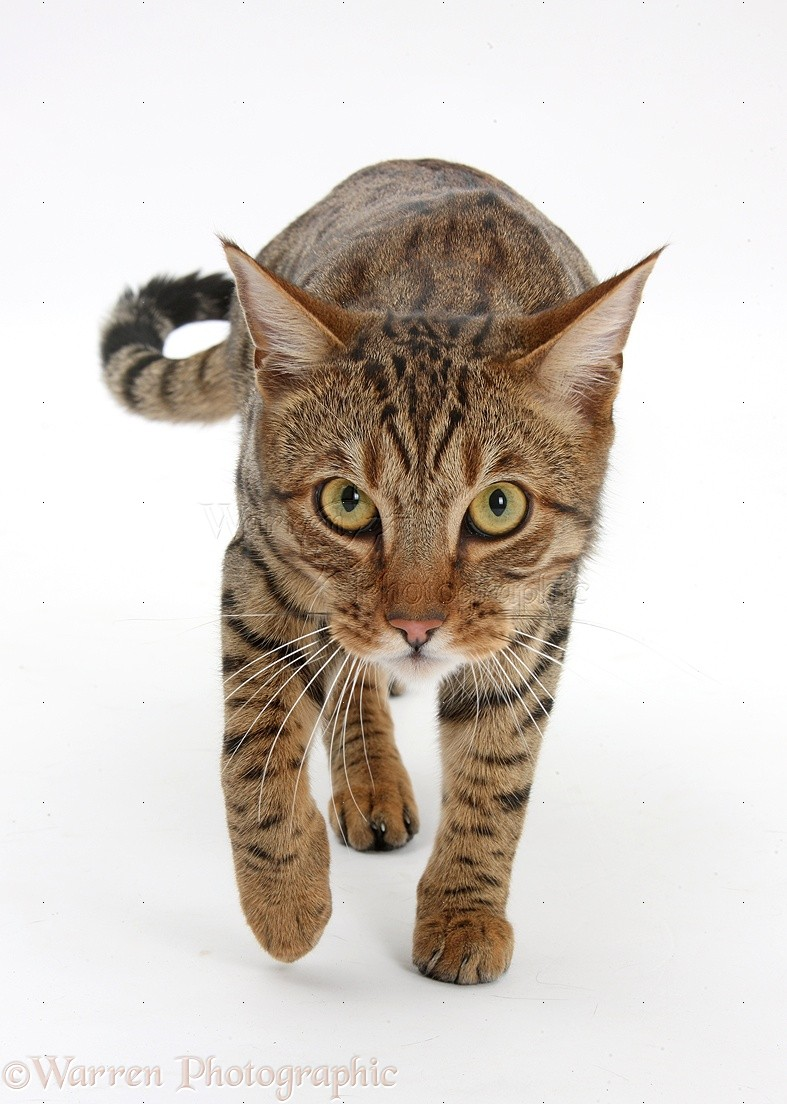 Bengal male cat stalking photo - WP40045