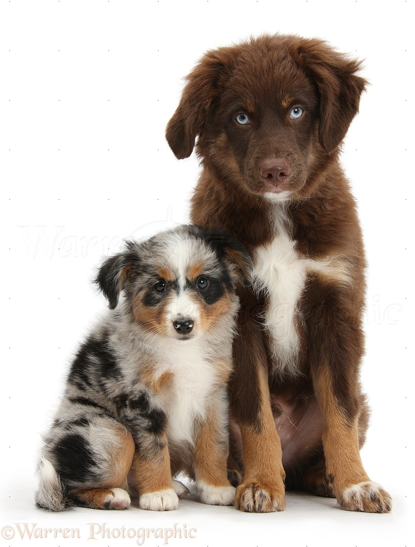 Dogs Miniature American Shepard Puppies Photo Wp40060