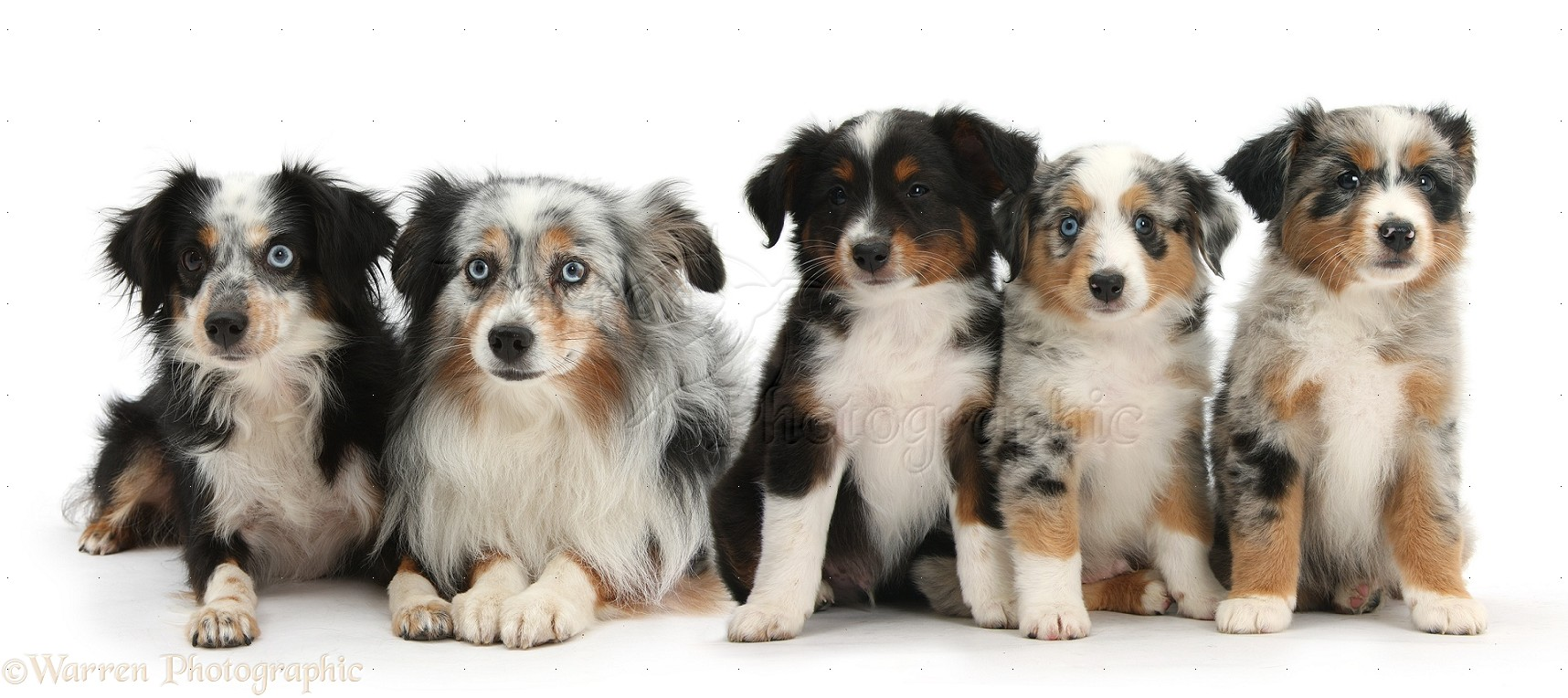 Group of Miniature American Shepard dogs photo - WP40062