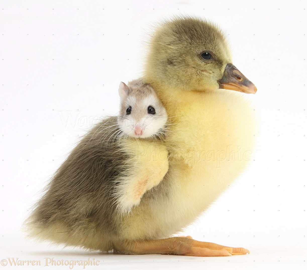 hamsters cute baby pictures to pin on pinterest