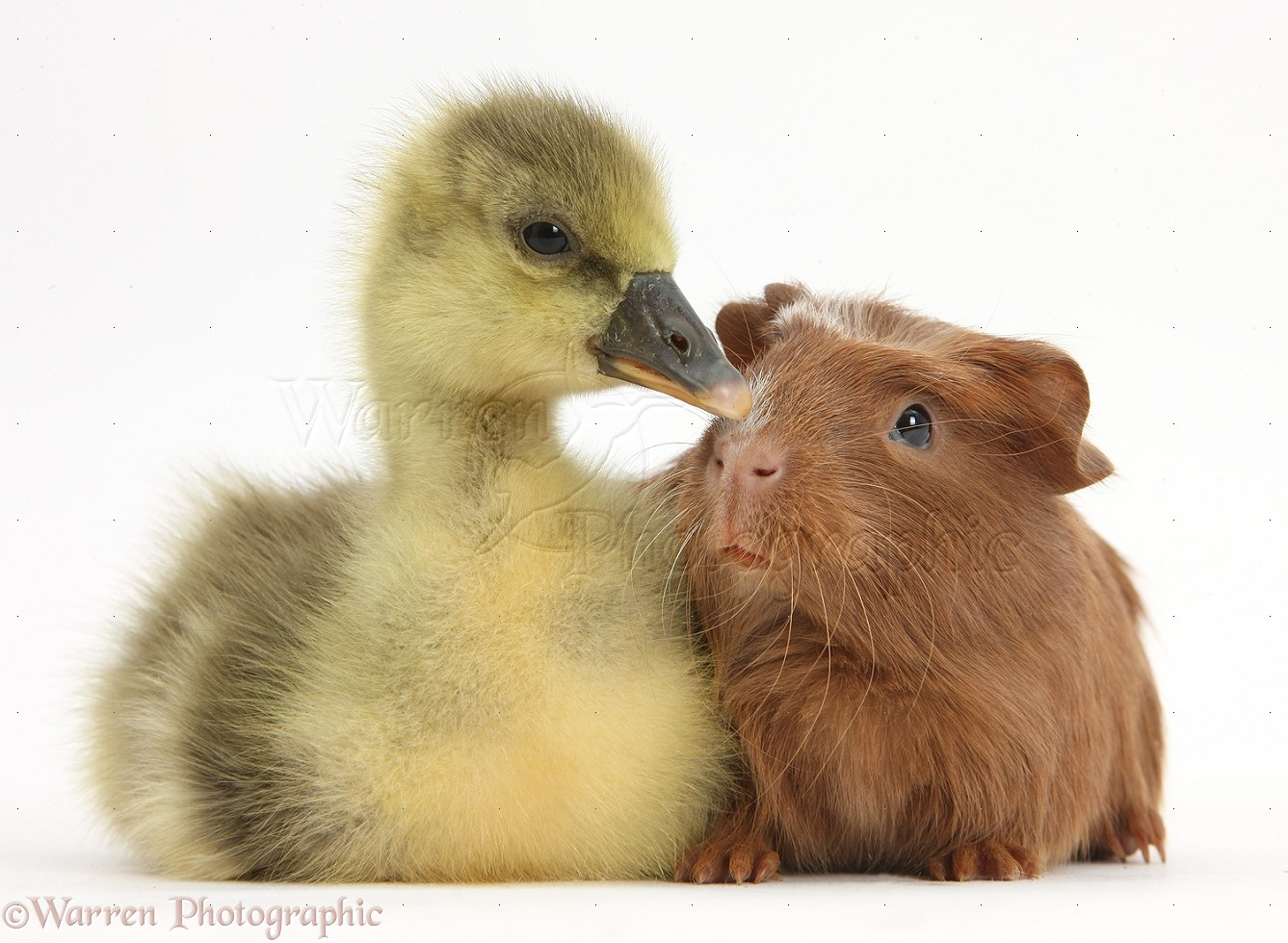 Cute Gosling and baby Guinea pig photo WP40089