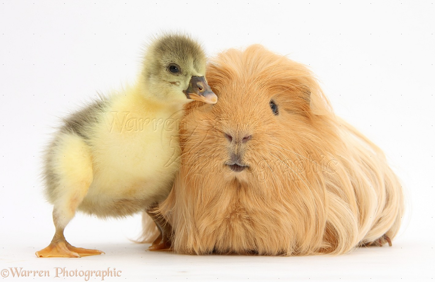 Congratulate, what hairy guinea pig photo join. was